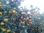 Цитрусы мандарин апельсин лимон, фото 2
