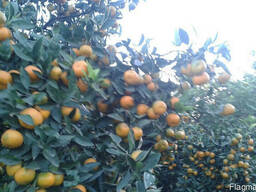 Цитрусы мандарин апельсин лимон - фото 2