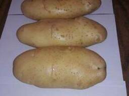 Fresh potato for sale for good prices