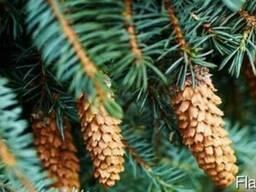 Кавказская семена сосна (Cone Seed)