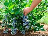 Продажа саженцев голубики и других медовых ягод - фото 2