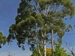 Эвкалипт (листья и эфирное масло) - фото 4