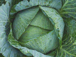 Fresh good grade cabbage for sale - photo 3