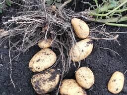 Продаётся Картофель Оптом в Грузии