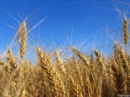 Предложение Пшеница 3 класс,ФОБ