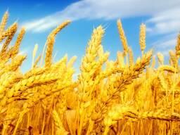 Пшеница, 2-й, 3-й класс, 183-187$ FOB Бердянск. - фото 1