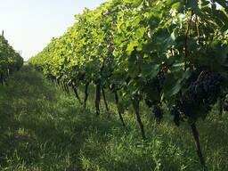 Виноградник саперави